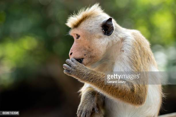 Un macaque à toque mâle mange une graine, parc national Wilpattu, Sri Lanka