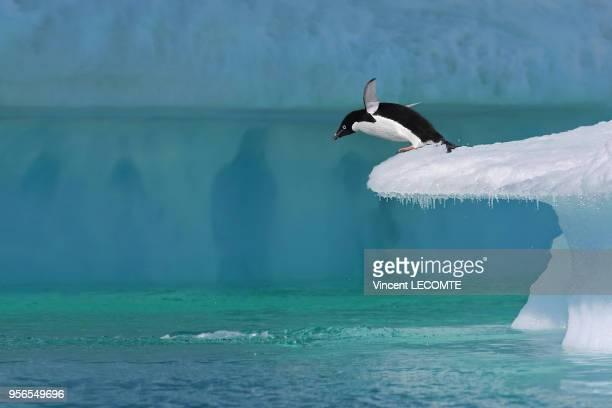 Un manchot Adélie plonge dans les eaux froides de lOcéan Antarctique depuis un plongeoir naturel en Terre Adélie en Antarctique en janvier 2009