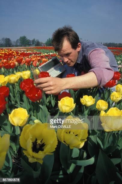 Un ouvrier horticulteur mesure les tiges et les petales des tulipes sur une exploitation en mai 1994 aux PaysBas
