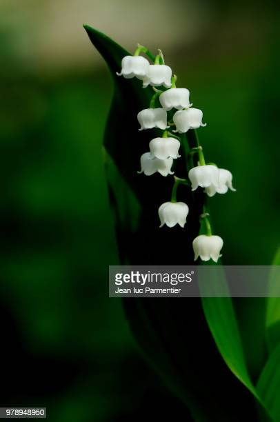 Image De Brin De Muguet brin de muguet stock photos and pictures |