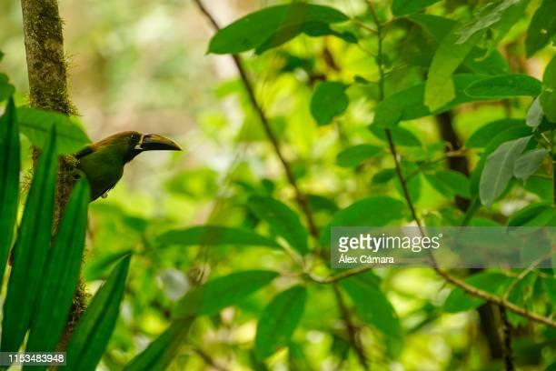 un tucán verde esmeralda buscando comida en mitad de un bosque tropical de costa rica - black mandibled toucan stock photos and pictures
