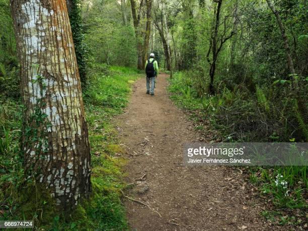 """una persona pasea tranquilamente disfrutando por un camino entre un bosque de galería, en la """"senda fluvial del río nansa"""", en cantabria, spain. - una persona stock pictures, royalty-free photos & images"""