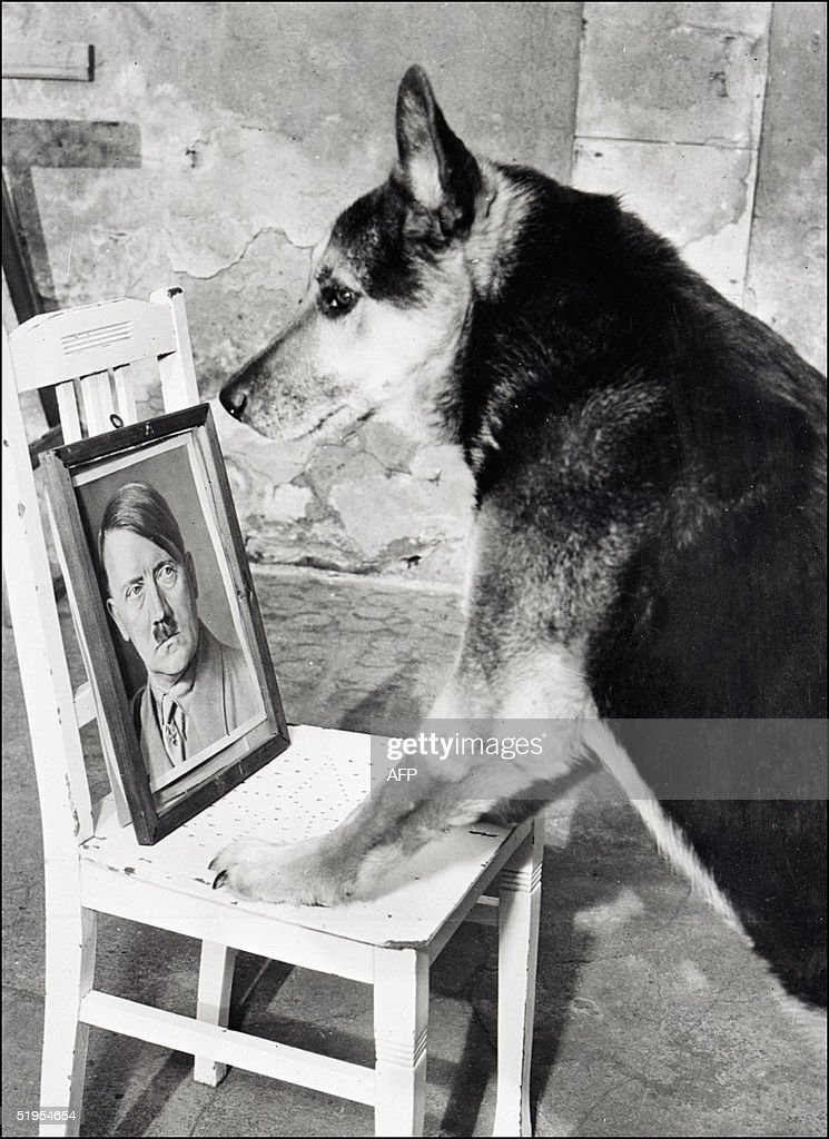 Undated and unlocated picture of one of Adolf Hitler 's dogs facing his master's photo. // Archive non datTe et non situTe reprTsentant un des chiens d'Adolf Hitler face au portrait de son maetre.