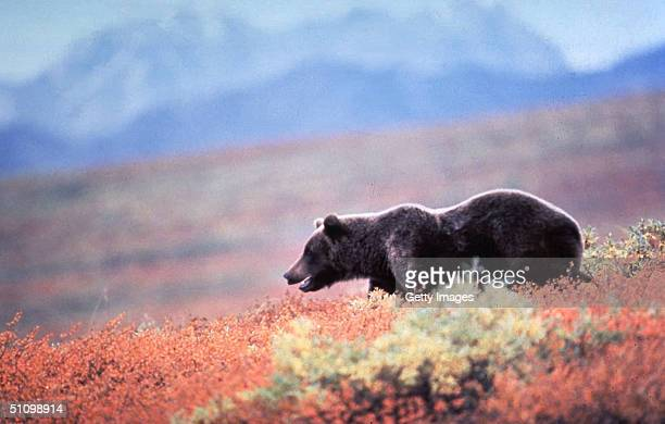 Grizzly Bear In Alaska.