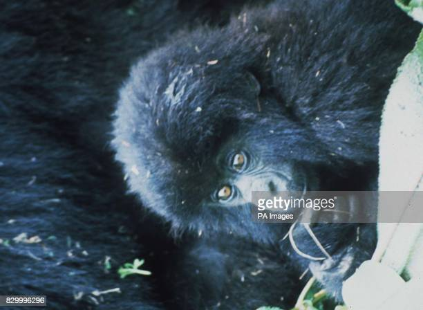 Undated filer of Amy a rare young gorilla who people were invited to adopt for 1995 by The Dian Fossey Gorilla Fund the charity which ran the...