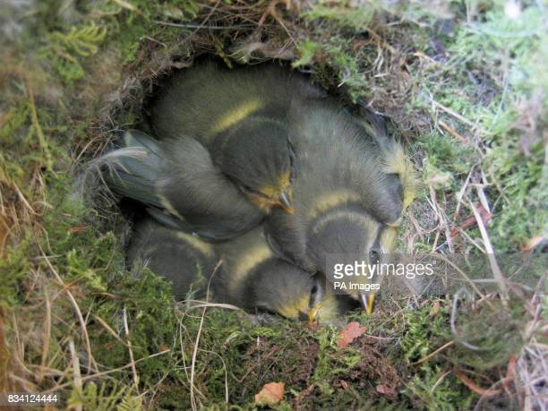 Undated photo of Blue tits in a nest
