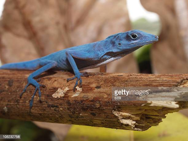 Undated picture of a blue anole a highly threatened lizard that is found only on the island of Gorgona about 50 km off the Colombian Pacific coast...