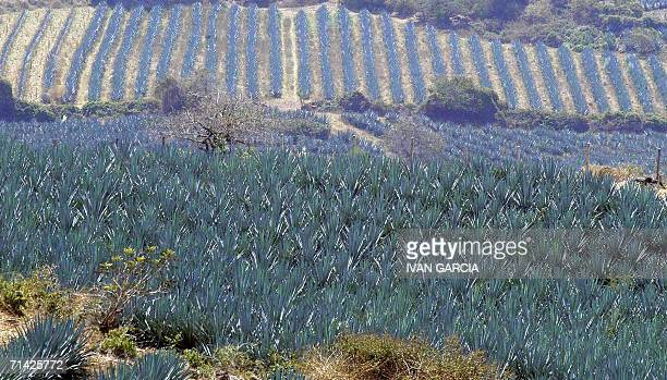 Undated picture of a landscape of a blue agave plantation in the Amatitlan Valley Jalisco state Mexico In the European city of Vilna the United...