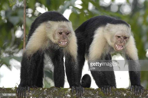 Undated picture of two Whiteheaded Capuchin monkeys also known as the Whitefaced Capuchin or Whitethroated Capuchin in the Gorgona island about 50 km...