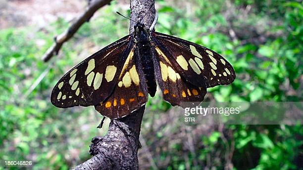 Undated picture released on October 27 2013 in Mexico City of a Baronia brevicornis butterfly also called Shorthorned Baronia Mexican and French...