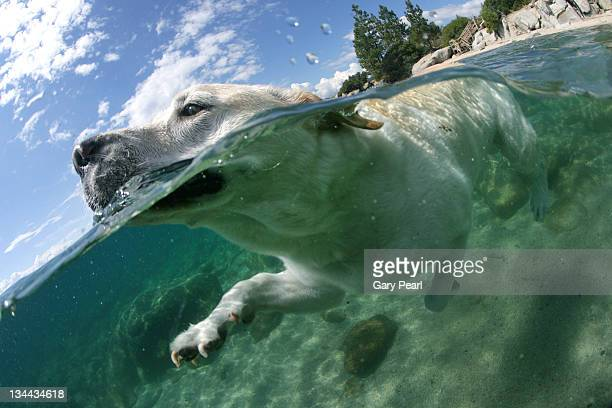 Under and above water view of dog swimming