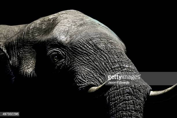 Under the beam of a floodlight a wrinkled and leathery African Elephant emerges from the darkness to drink at a waterhole. Under the beam of a floodlight an African Elephant emerges from the dry season darkness to drink at a waterhole.