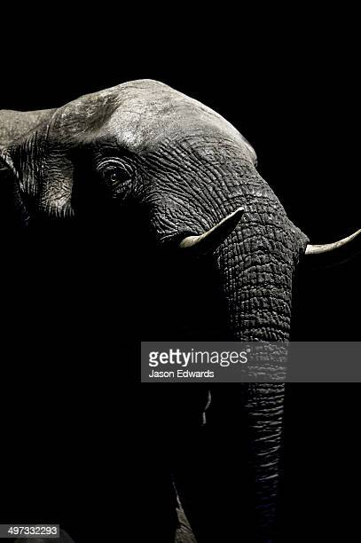 Under the beam of a floodlight an African Elephant emerges from the dry season darkness to drink at a waterhole.