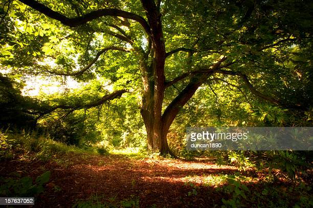 under the chestnut tree - picture of a buckeye tree stock photos and pictures