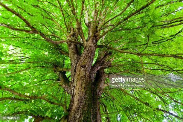 Under the Chestnut Tree