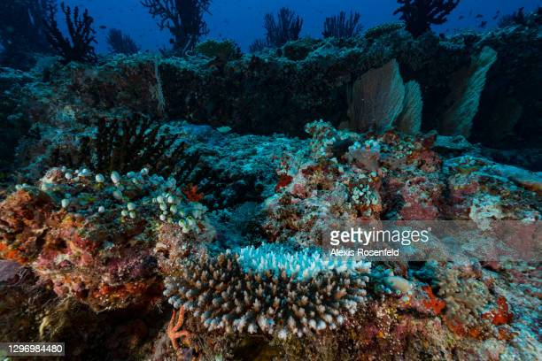 Under the effect of some kind of stress related to disease, pollution, or too high temperature, part of the coral colony bleached on April 7...