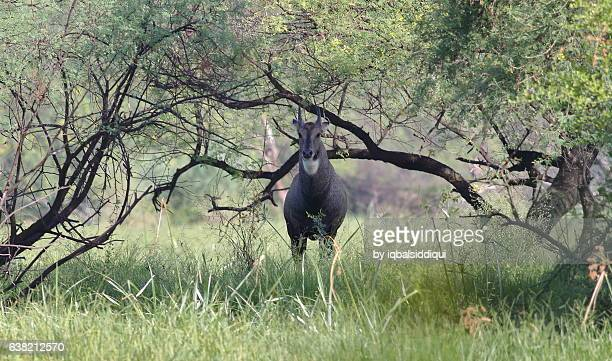 under the gateway - nilgai stock photos and pictures