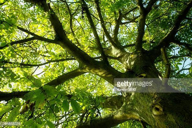 Sous l'arbre greenwood
