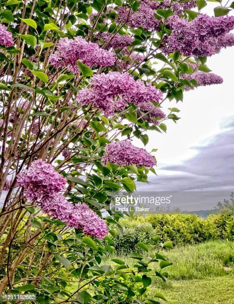 under the lilacs - ライラック ストックフォトと画像