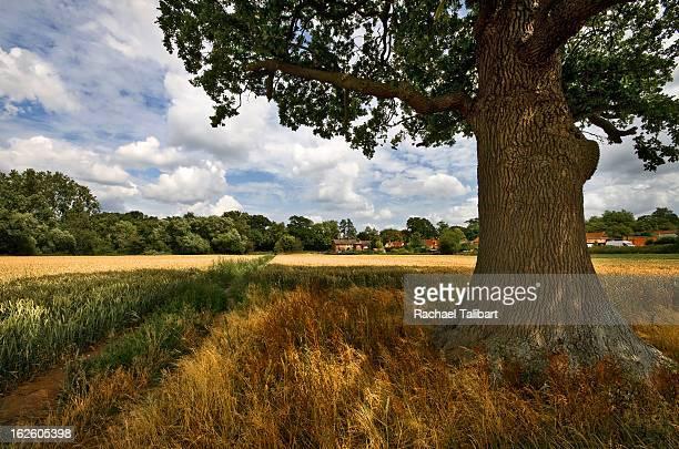 under the oak - cobham surrey stock pictures, royalty-free photos & images