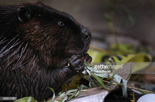 Under the stairs of the deck a beaver eats leaves from a nearby tree amongst some of the harbour garabage that has collected under the stairs A...