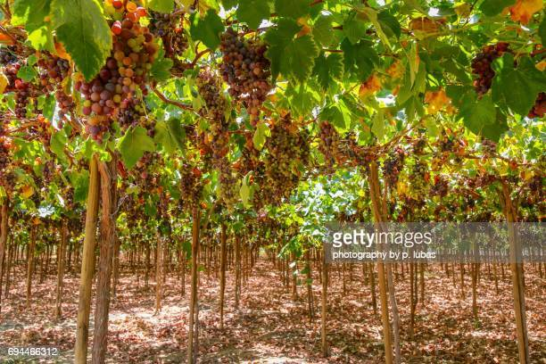 under the vineyard - peru - pisco peru stock photos and pictures