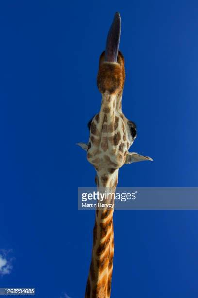 underneath funny view of an adult rothschild giraffe (giraffa camelopardalis rothschildi) sticking out its tongue with blue sky in background - 動物の舌 ストックフォトと画像