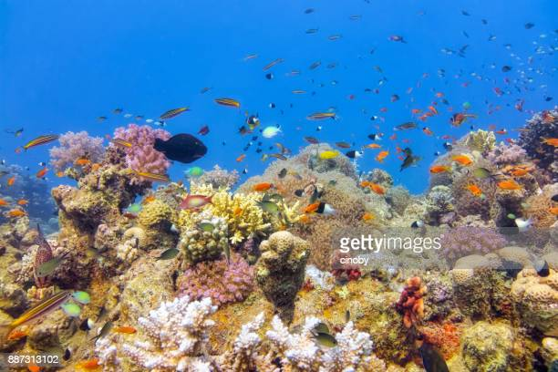 Undersea on beautiful coral reef with lot of tropical Fish in Red Sea - Marsa Alam - Egypt