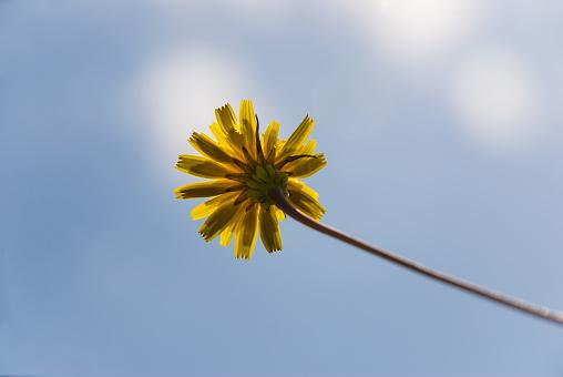 Underside of a Dandelion Flower - gettyimageskorea