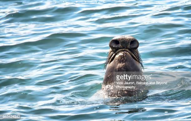 Underside of the Elephant Seal Proboscis