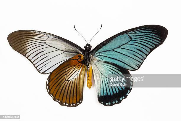 underside (left) topside (right) - butterfly insect stock pictures, royalty-free photos & images