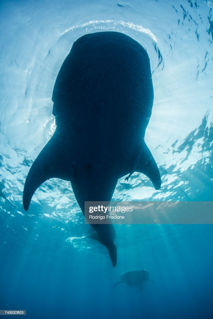 Underside view of whale shark (rhyncodon typus) feeding on the water surface, Isla Mujeres, Mexico : Stock Photo