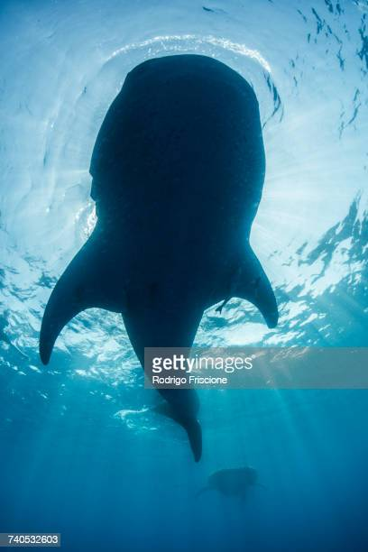underside view of whale shark (rhyncodon typus) feeding on the water surface, isla mujeres, mexico - isla mujeres stock photos and pictures