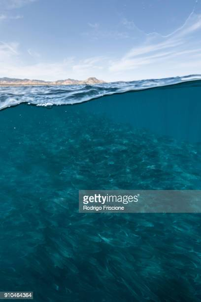 Underwater and over view of swimming school of jack fish in blue sea, Baja California, Mexico