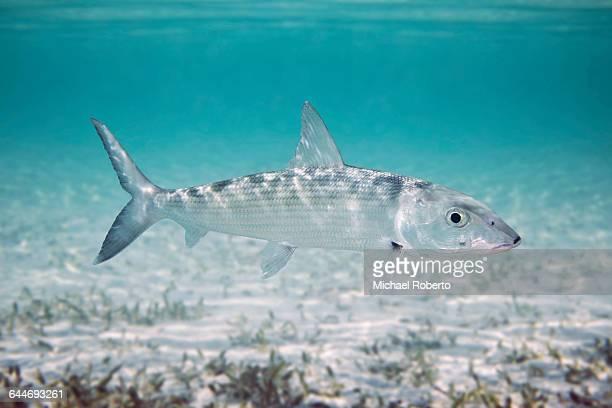 Underwater Bonefish