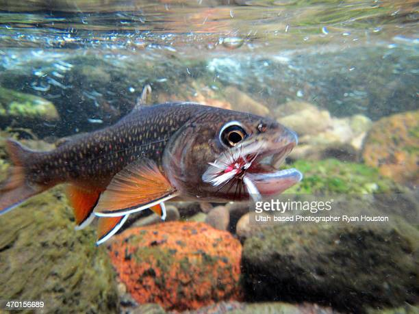 454 Brook Trout Photos And Premium High Res Pictures Getty Images