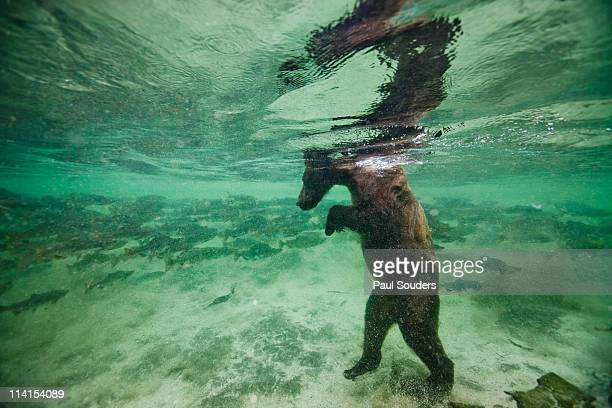 Underwater Brown Bear, Alaska