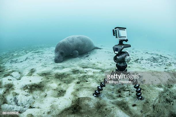 Underwater camera on tripod filming sleeping manatee, Sian Kaan biosphere reserve, Quintana Roo, Mexico