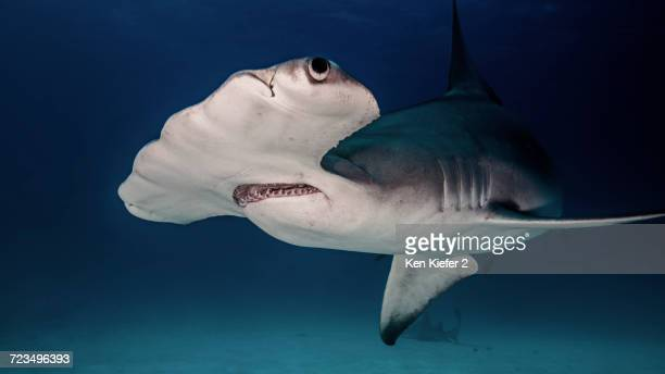 underwater close up of hammerhead shark - hammerhead shark stock pictures, royalty-free photos & images