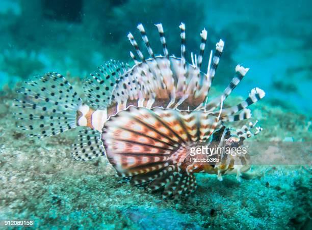 Underwater close-up image of venemous Lionfish aka Zebra fish (Pterois)