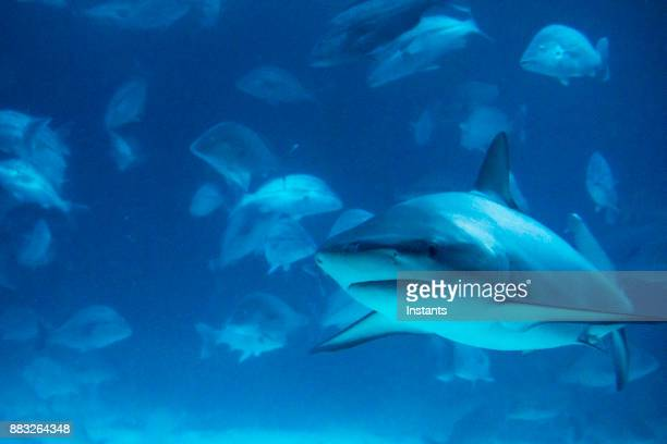 Underwater close-up of a shark swimming, while surrounded by other fishes.