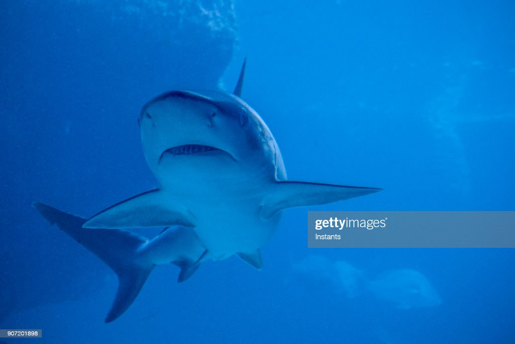 Underwater close-up of a swimming shark. : Stock Photo