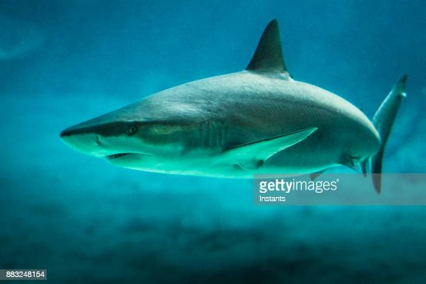Underwater close-up shot of a shark swimming by itself.