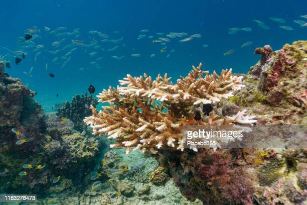 underwater coral bleaching of critically endangered species staghorn (acropora cervicornis) - el nino stock pictures, royalty-free photos & images