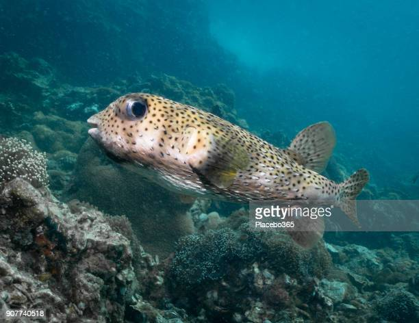 Underwater Cute Porcupine Balloonfish Fish (Diodon hystox) Smiling