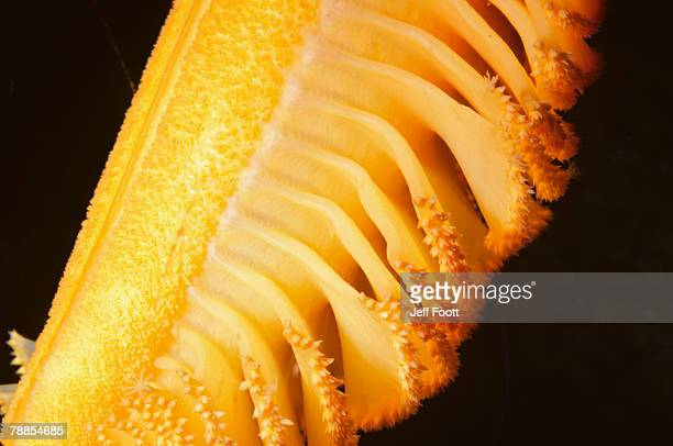 underwater detail of gurney's sea pen (ptilosarcus gurneyi), washington, usa - sea pen stock pictures, royalty-free photos & images