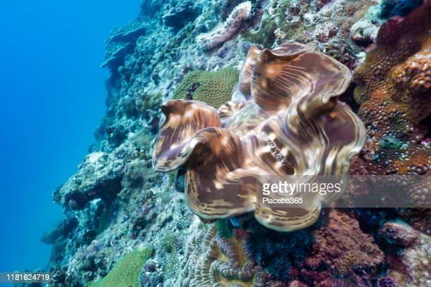 underwater giant clam (tridacna gigas) on shallow coral reef - arthropod stock pictures, royalty-free photos & images