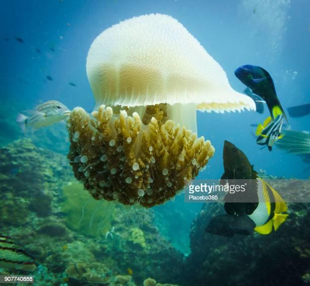 Underwater image of fish feeding on Common Jellyfish (Thysanostoma thysanura)