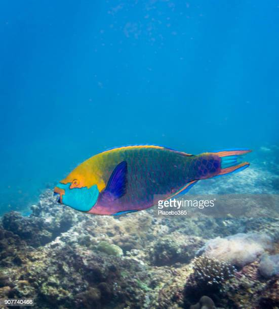 underwater image of parrotfish (scarus prasiognathos) on bleached coral reef - hermaphrodite stock photos and pictures