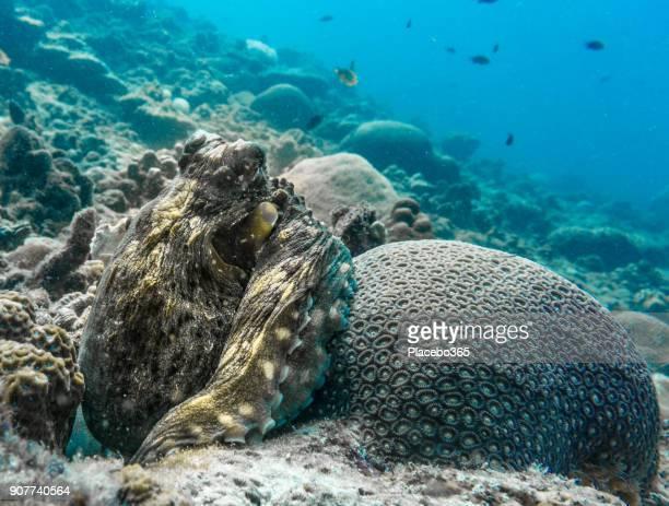 Underwater image of Reef Octopus (Octapus cyanea) camoflauged on coral reef